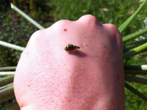 cucumber_beetles