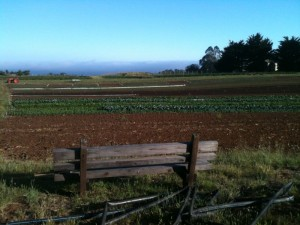 A lettuce field at Petaluma Bounty