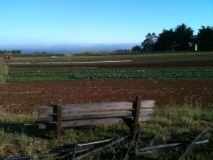 A lettuce field at Petaluma Bounty