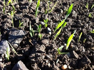 Sprouting cover crops