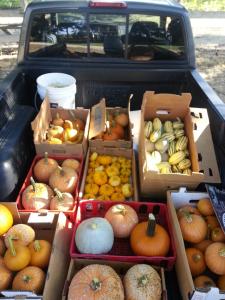 when-to-harvest-winter-squash-pumpkins