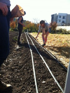 Planting garlic at the Bounty Farm