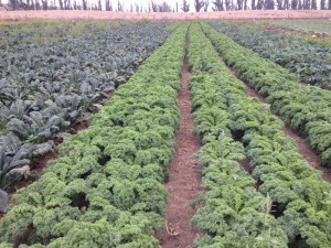 Kale Rows at First Light Farm