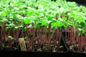 Microgreens Growing Indoors