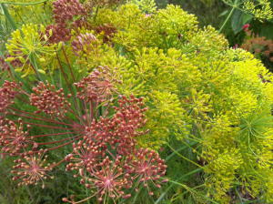 Flowering plants (dill) for pollinators