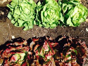 Lettuce Up Close at Red H Farm