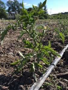 Tomatoes in the ground at Petaluma Bounty