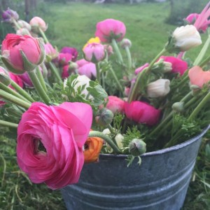 Early spring ranunculus at B-Side Farm