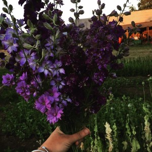 Glorious Larkspur rainbow at B-Side farm