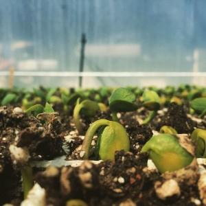 Lupine germinating in the greenhouse at B-Side Farm