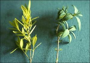 Nitrogen deficiencies in Stl. John's Wort. Photo Source: University of FL