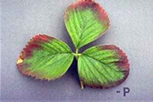 Phosphorous deficiencies in strawberries. Photo Source: Cornell