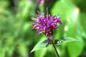 Bergamot Tea Garden