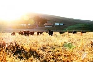 True Grass Farms Cattle