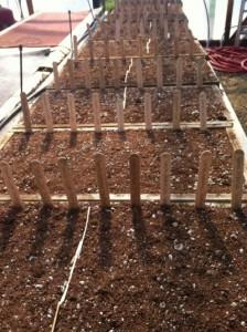 Pepper seeds germinating
