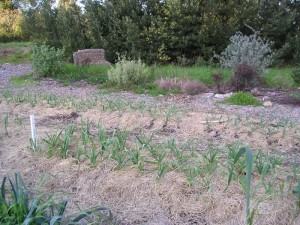 Straw mulch on a garlic patch for Ceres Project Community Garden