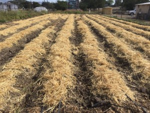 Straw covered beds