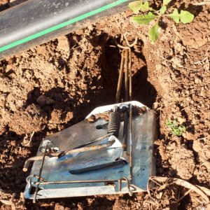 Placing a cinch trap for gophers