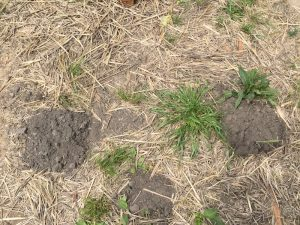 Evidence of a gopher invasion