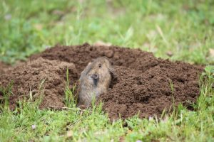 How to trap gophers
