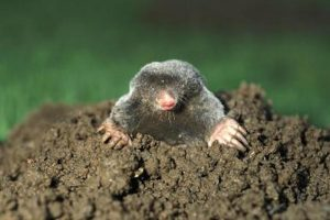 A mole comes up for air