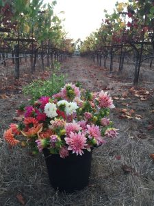 A basket of B-Side Farm Dahlias