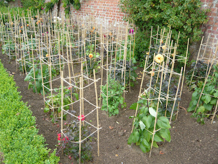 Properly staked growing dahlias