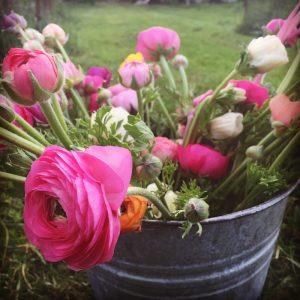 A bucket of spring ranunculus