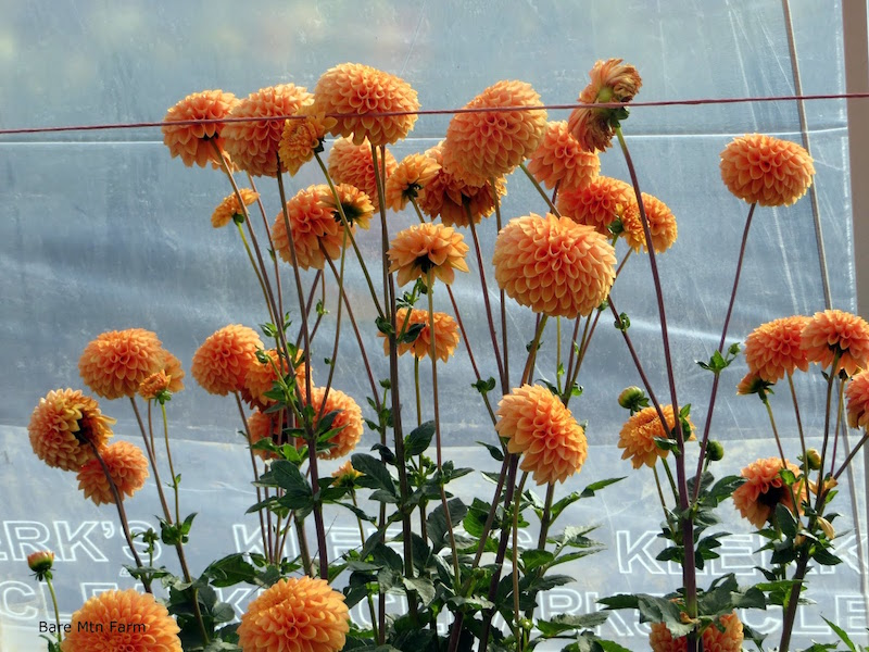 Long stems dahlias