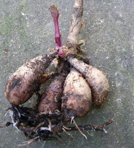 Dahlia tubers ready to be planted