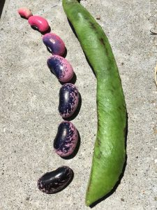 Growing dry beans
