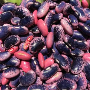Harvested Scarlet Runner Dry Beans