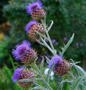 Perennials: Cynara Cardunculus