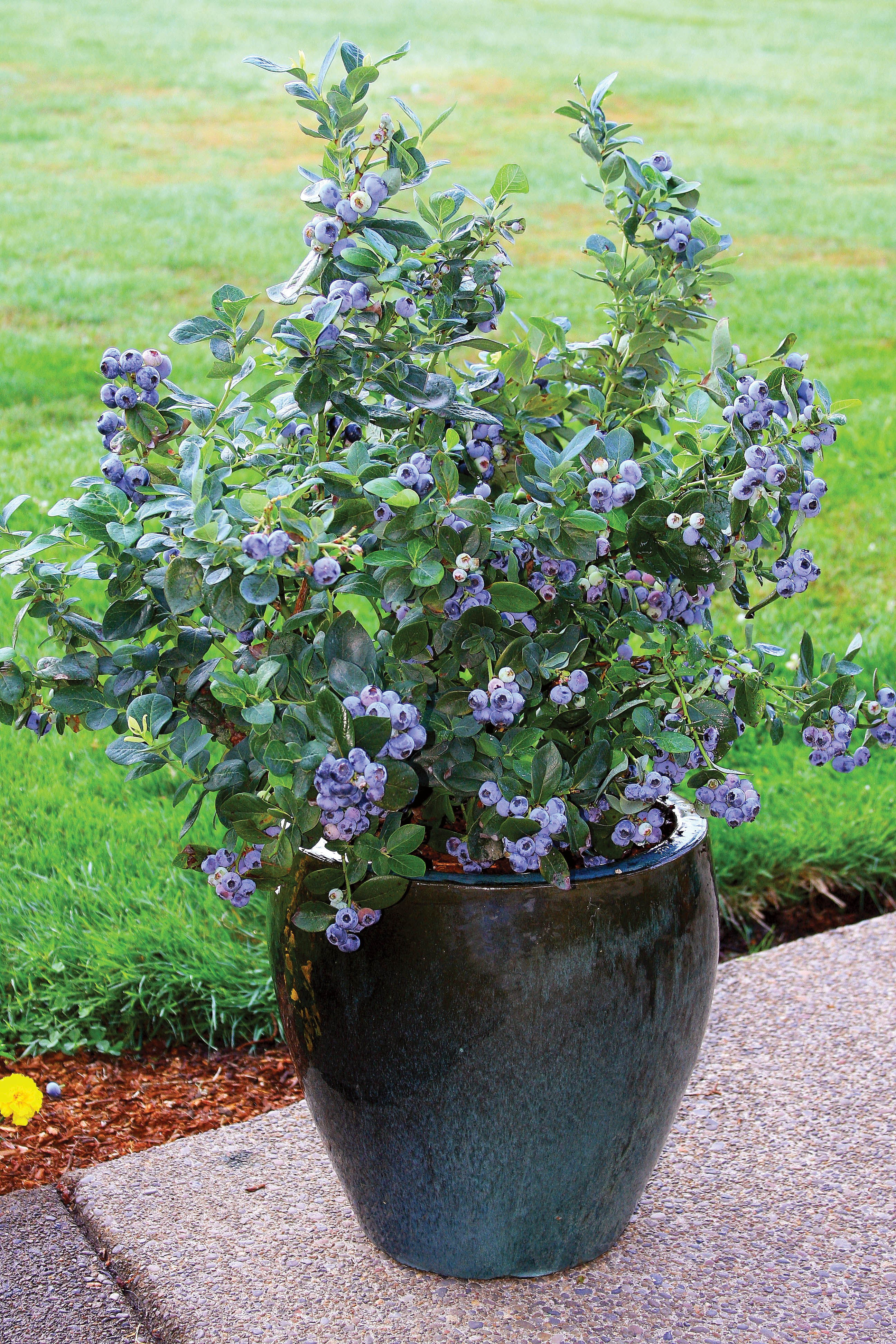 Blueberries: Grow Your Own   Grab N' Grow Soil Products