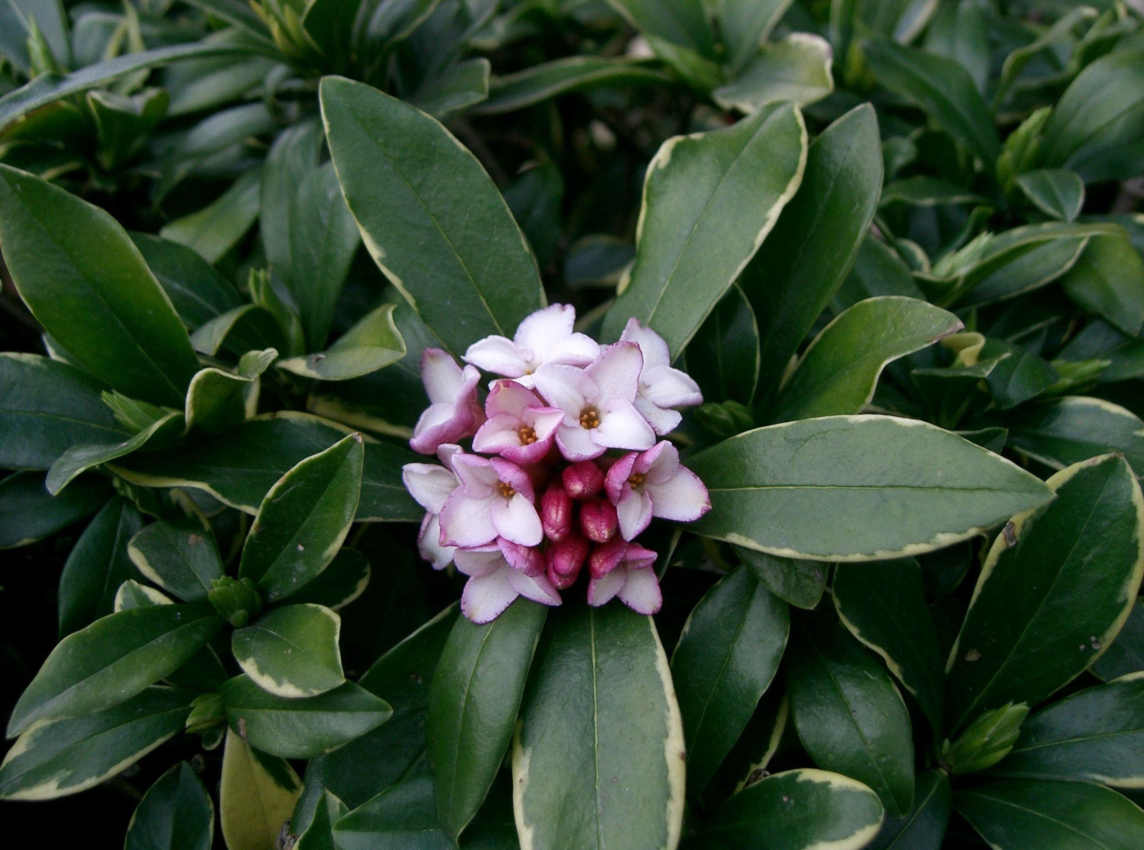daphne winter flowers