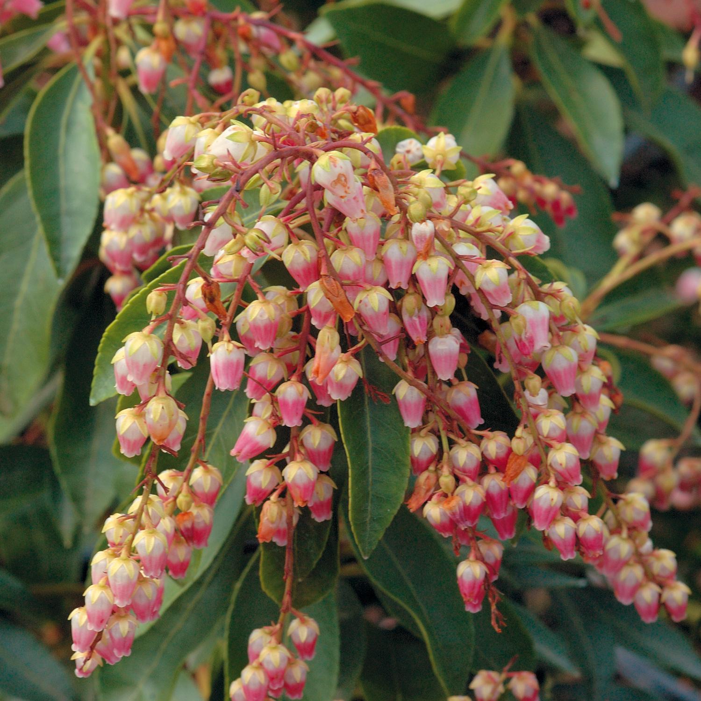 pieris japonica winter flowers
