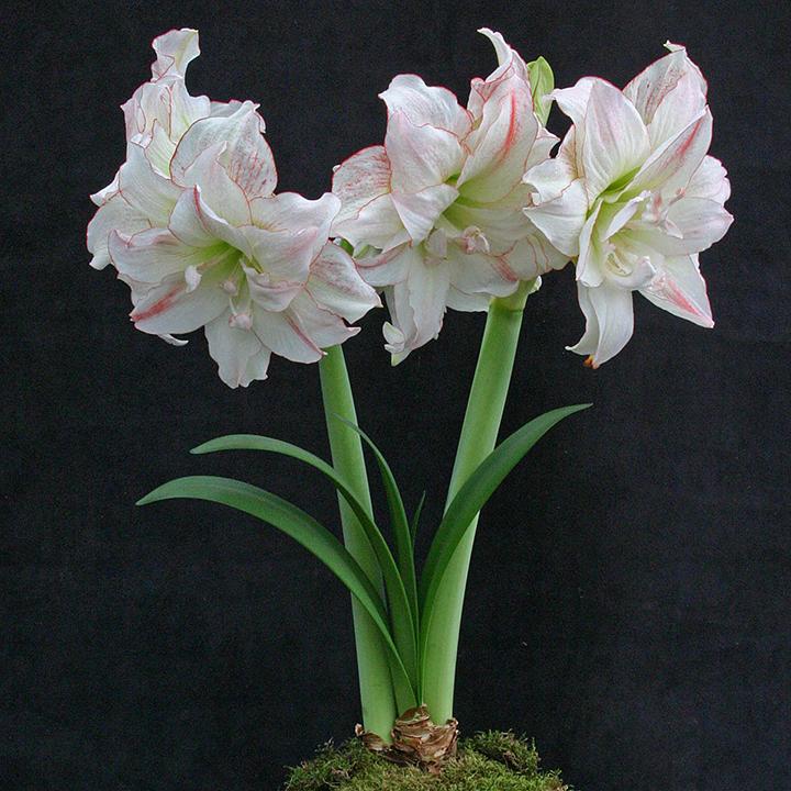 amaryllis winter flowers