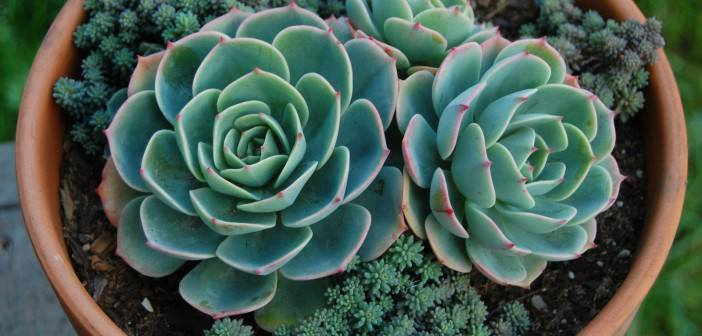 succulents-hen-chicken