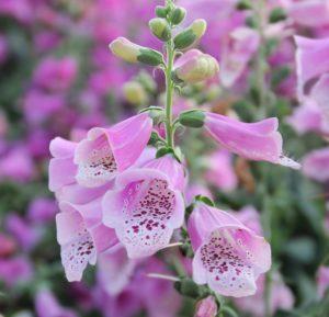 Biennial Flowers