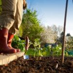 Gardener Planting in Vegetable Garden