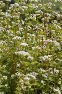 buckwheat-413559_640